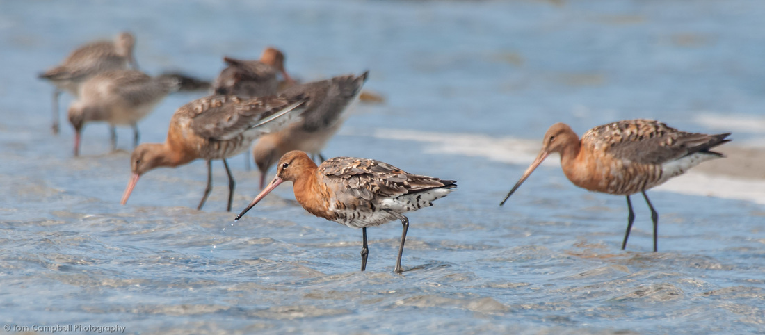 Black-Tailed Godwits, Broadford Beach, Skye